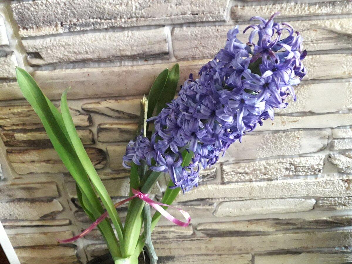 Гиацинт после цветения в горшке — что с ним делать в домашних условиях