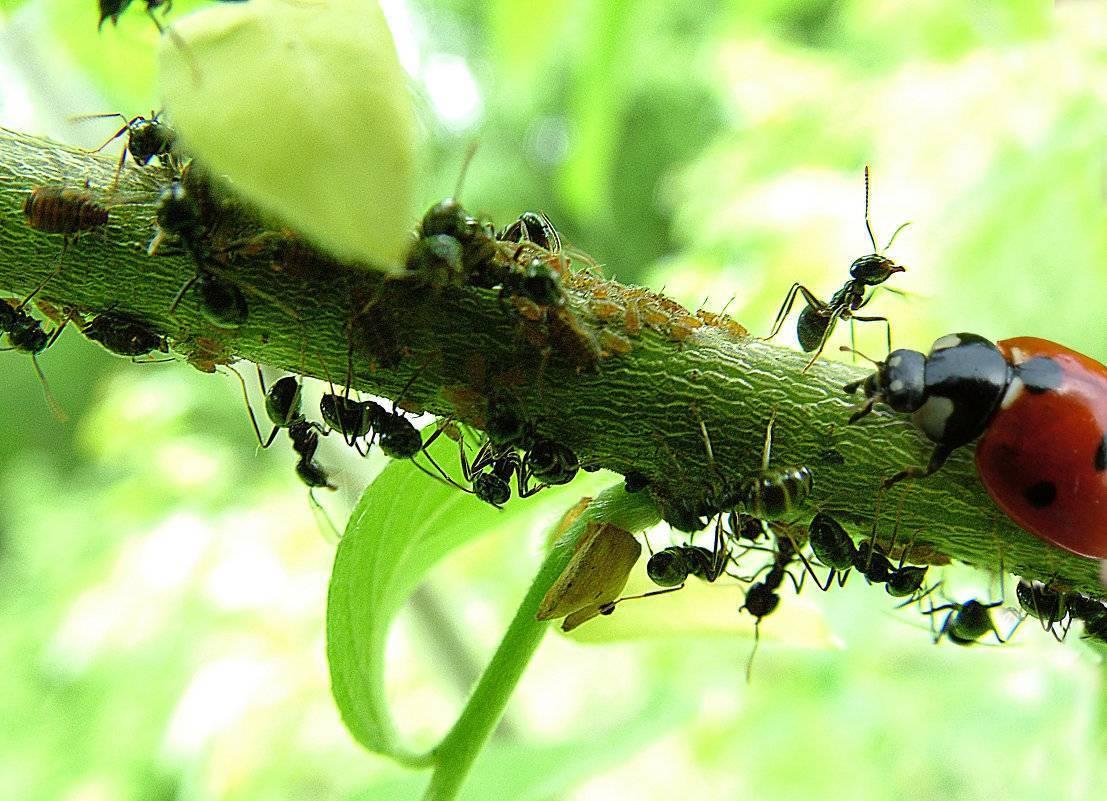 Чем обработать пионы от муравьев в мае. лучшие рецепты