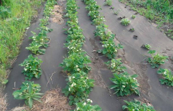 Посадка клубники осенью под агроволокно. как сажать клубнику на агроволокно