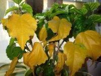 Почему у комнатного гибискуса желтеют и опадают листья? рекомендации по решению возможных проблем