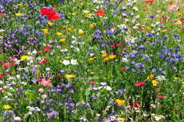 Голубой цветок полевой