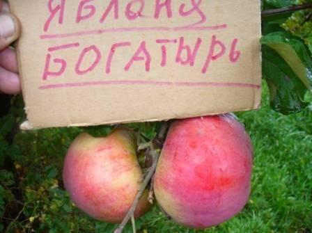 Сорт яблони богатырь – вкусный урожай круглый год!