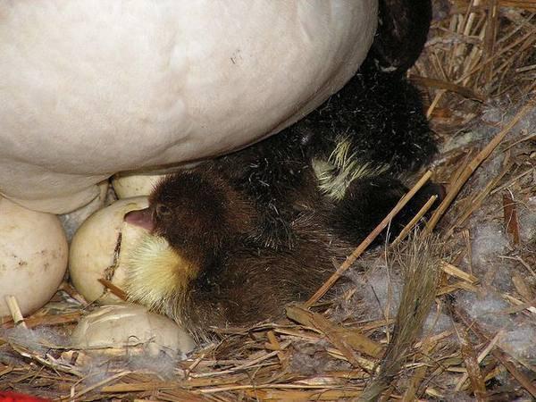 Когда индоутки начинают нести яйца?