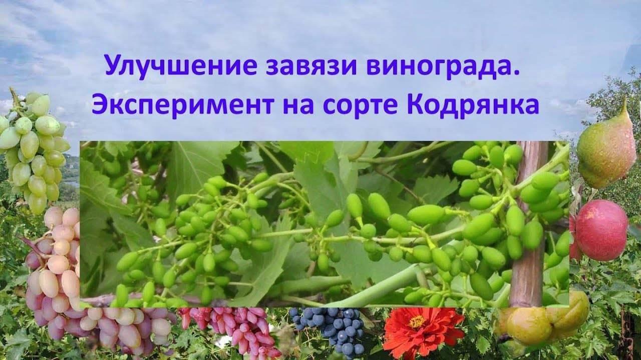 Почему виноград не цветет и не плодоносит. почему виноград не плодоносит: основные причины