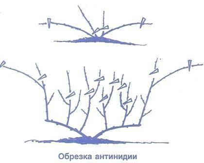 Актинидия коломикта: посадка и уход, описание сортов