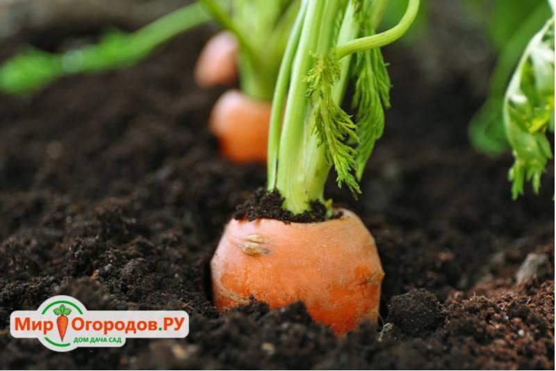 Как сделать сеялку для моркови?