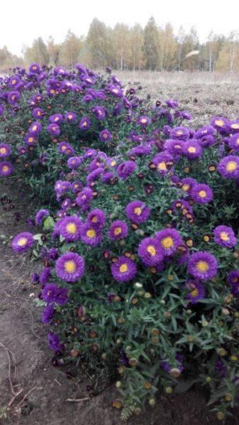 Астра новобельгийская: сорта, способы размножения и уход