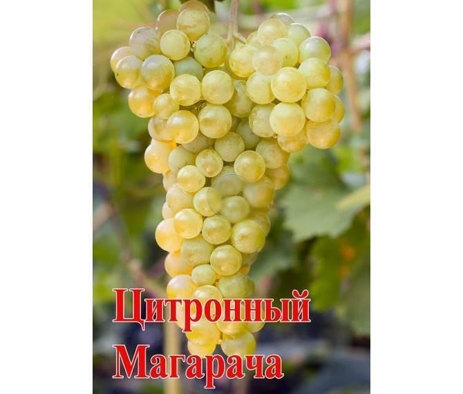 Виноград магарач : цитронный и ранний