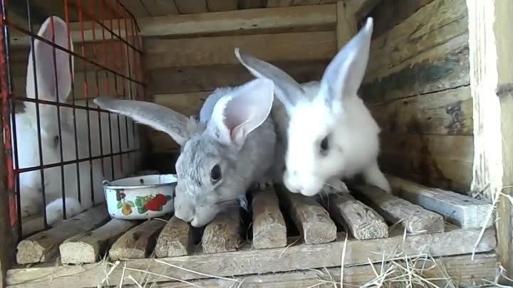 Можно ли давать кроликам корки от дыни. использование арбуза и дыни в качестве корма для кроликов. плюсы кормления кроликов арбузом и дыней