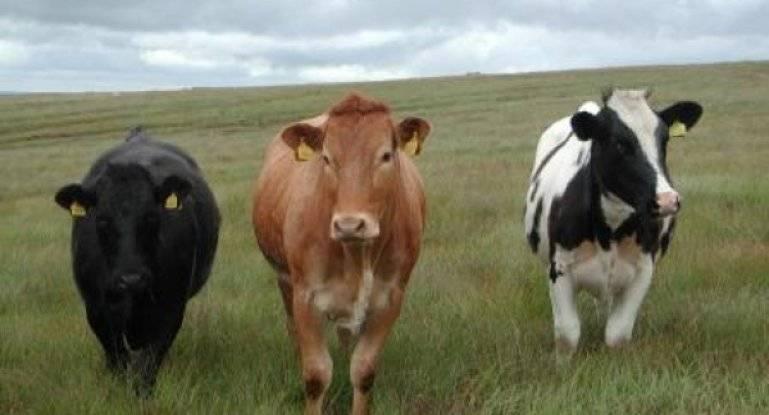 Калмыцкая порода крс - особенности содержания коров