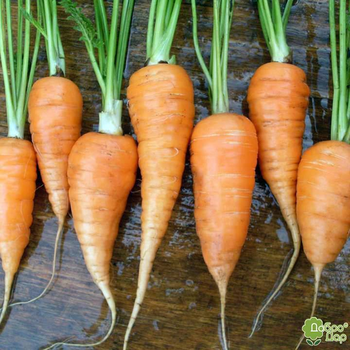 Особенности моркови сорта болтекс. агротехника выращивания, похожие виды