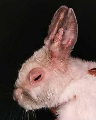 Миксоматоз у кроликов симптомы и лечение