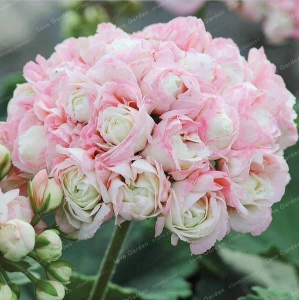 Пеларгония розебудная
