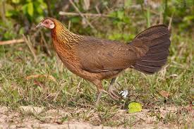 Банкивская джунглевая курица — википедия. что такое банкивская джунглевая курица