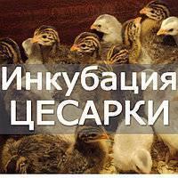 Инкубация куриных яиц в домашних условиях