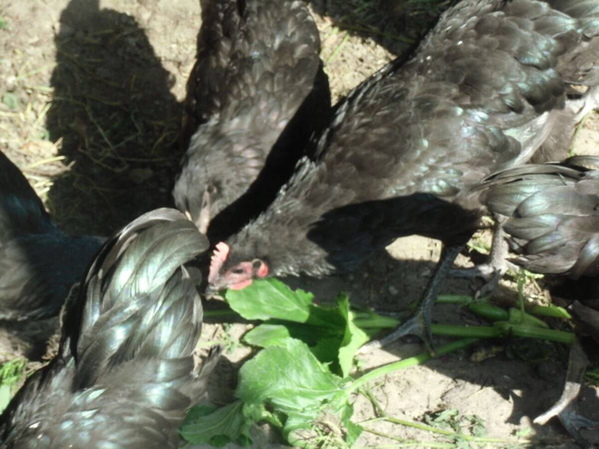 Порода кур австралорп: описание, характеристика