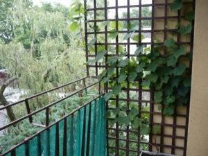 Девичий виноград на балконе – тонкости выращивания