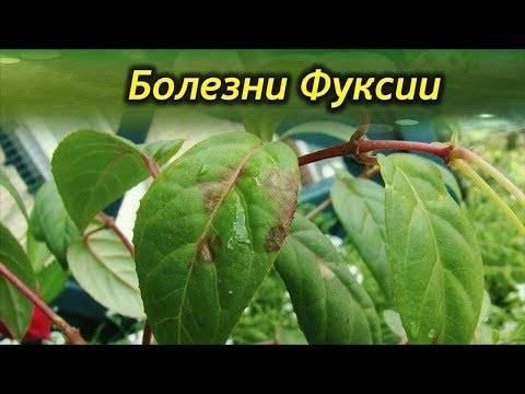 Болезни фуксии (20 фото): способы лечения. почему опадают бутоны, не успев раскрыться, и фуксия сбрасывает листья? как избавиться от белокрылки и других вредителей?