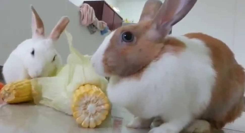 Какое зерно можно давать кроликам? можно ли кормить их пшеницей и овсом? как делать зерносмесь своими руками?