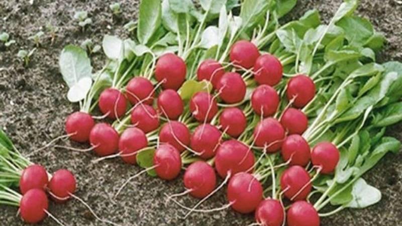 Ранний редис заря: описание с фото, выращивание и похожие сорта
