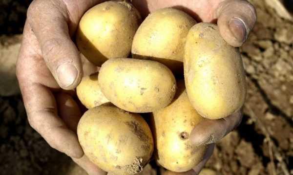 Картофель джувел: описание и характеристика, отзывы