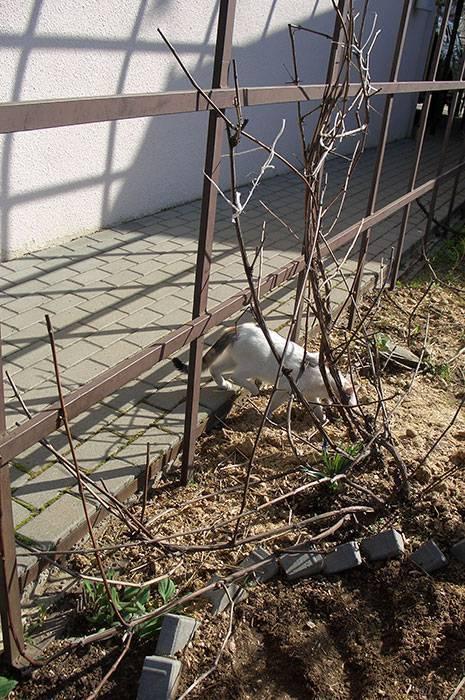Опора для винограда: как подвязать виноград своими руками