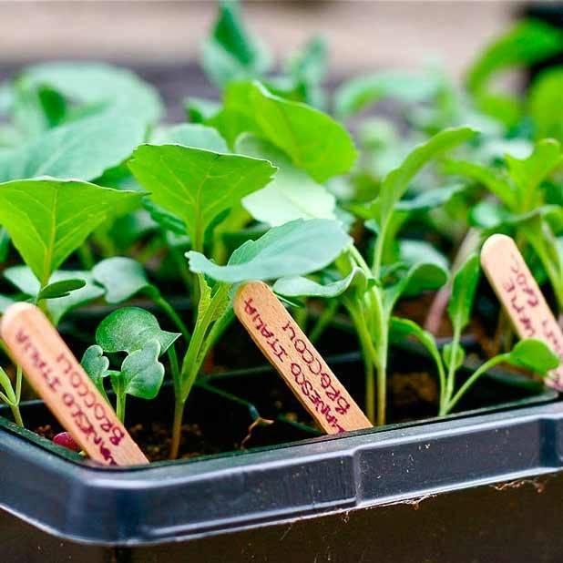 Благоприятные дни для посадки капусты брокколи в 2020 году по лунному календарю