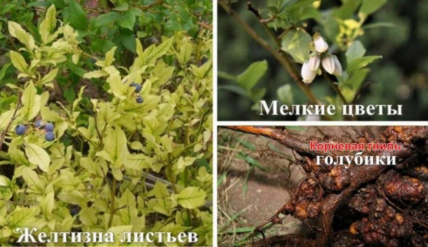 Как можно повысить кислотность почвы для выращивания голубики