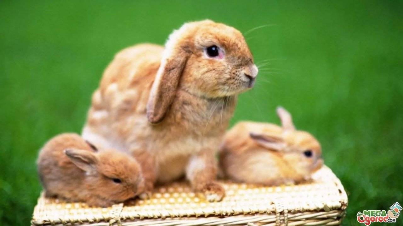 Чем правильно кормить маленьких крольчат