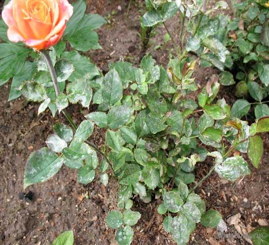 Как ухаживать за китайской розой, чтобы она цвела каждый год