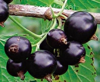 Крупноплодный сорт черной смородины «добрыня»