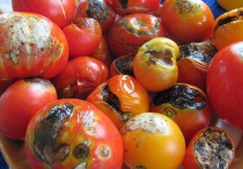 Фитофтора на помидорах. когда начинать обрабатывать от нее томаты?