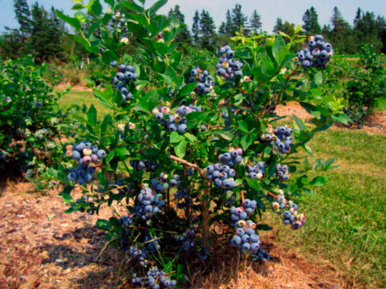 Голубика садовая