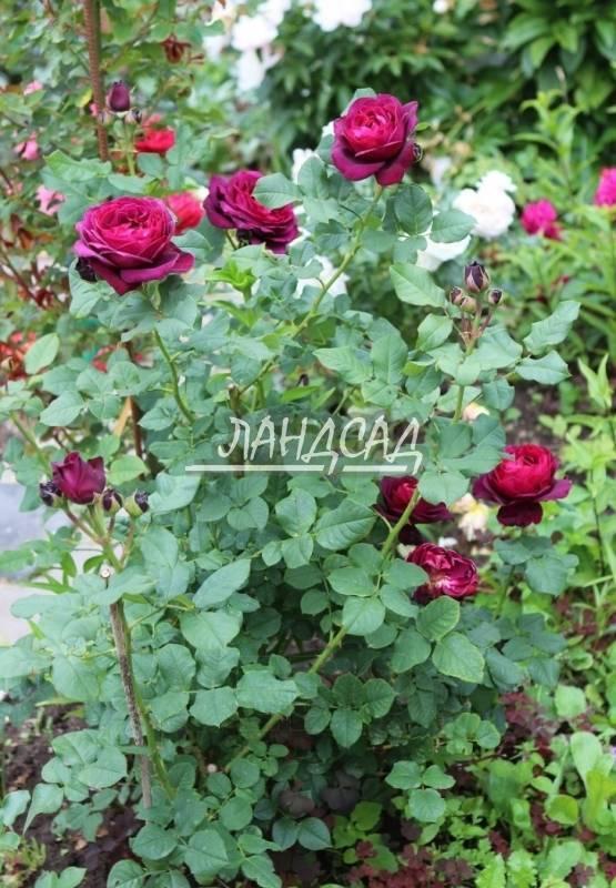 О розе astrid grafin von hardenberg: описание и характеристики, выращивание