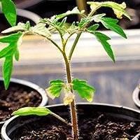 Какие бывают болезни помидорной рассады: фото, описание, лечение