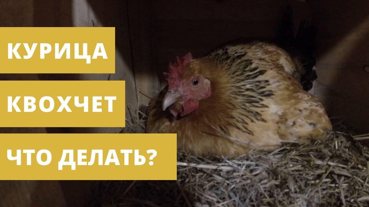 Что делать, если курица заквохтала, как отучить, если постоянно кудахчет