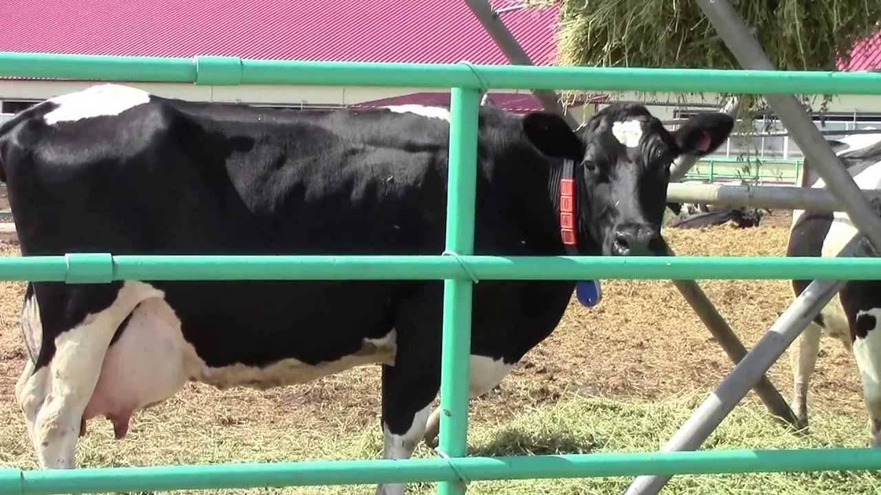 Холмогорки («холмогорская» порода коров) – приносят радость и тем, кто их выращивает, и тем, кто просто любит молоко!