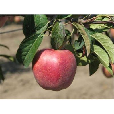 Описание, посадка и уход за яблоней сорта глостер