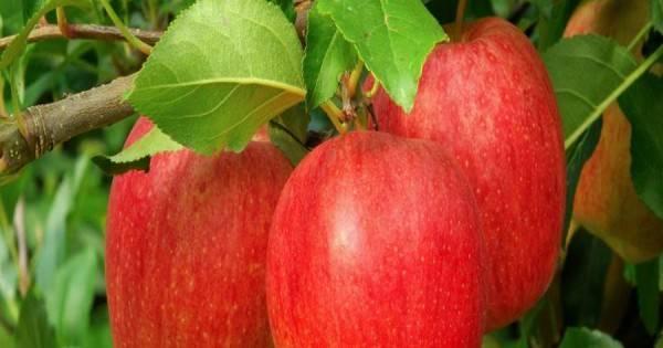 Яблоня лигол –европейский сорт в русском саду