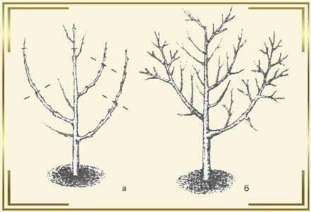 Схема правильной обрезки абрикоса зимой