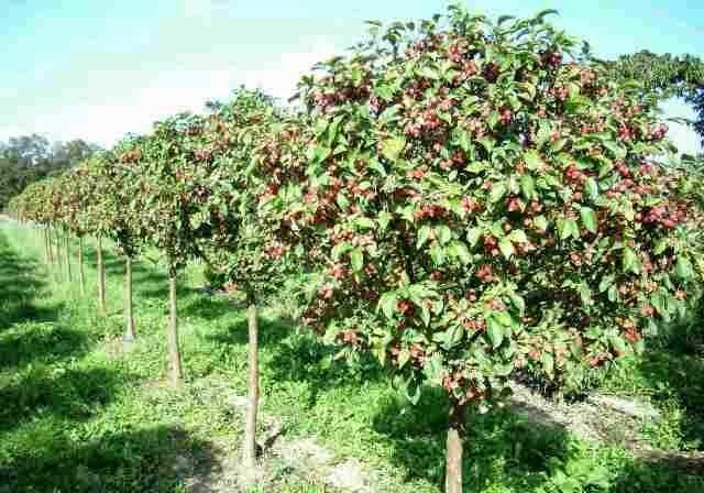 Фото и названия сортов лучших плодовых деревьев