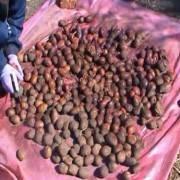 Престиж: инструкция по применению протравителя от колорадского жука на картофеле