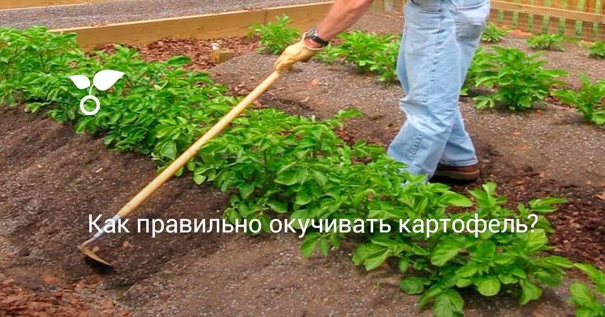 Когда окучить картошку