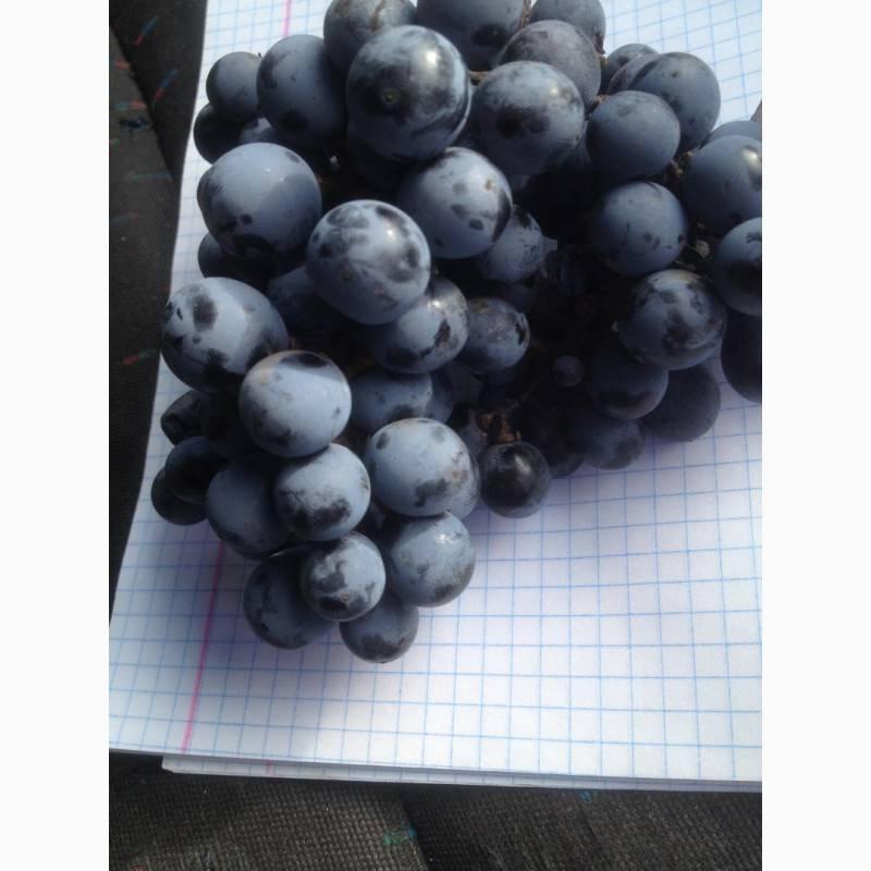 Лучшие технические сорта винограда с описанием и фото