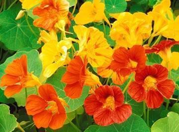 Настурция – выращивание из семян своими руками