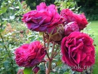Роза амалия описание. роза амалия. описание сорта «амелия»