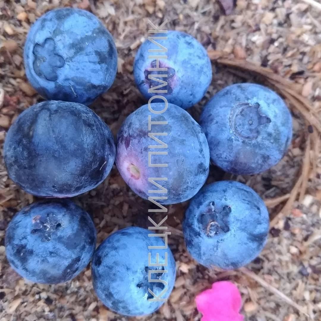 Голубика, морозостойкие сорта - голубика норт блю - запись пользователя berezhyuliya (id792125) в сообществе сад, огород в категории кустраники и плодоносные деревья. - babyblog.ru