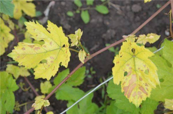 Почему у лилии желтеют листья – все возможные причины и что делать