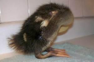 Почему утки падают на ноги и дохнут лечение