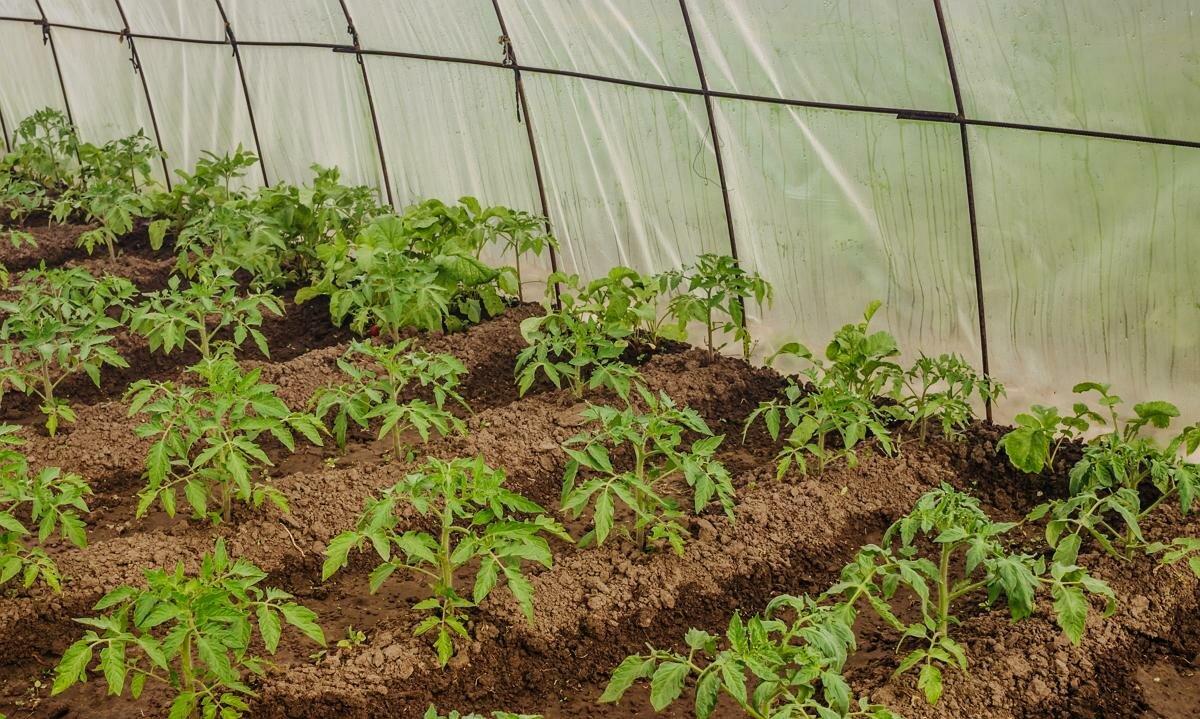 Выращивание помидоров в парнике: как правильно подготовить, когда осуществить посадку семян томатов, какие сорта выбрать и как грамотно ухаживать за сеянцами?
